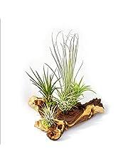 Tillandsia sobre raíz Mopani – XXL – 5 plantas