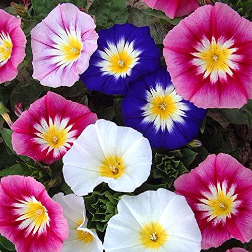 Lankfun Semillas de macetas de Flores,Semillas giratorias Tricolor fáciles de Vivir-Tricolor_100g,perennes Semillas de Flores