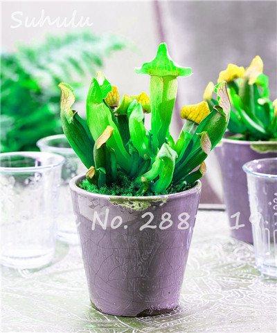 60 Pcs vivaces Nepenthes Seeds Carnivores Venus Fly Trap plus chaud du monde des plantes Graines Bonsai Garden Seed Color Mix Livraison gratuite 3