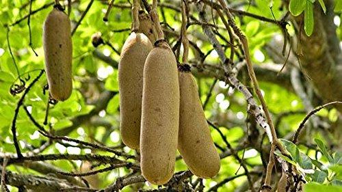 Samen Tropische Pflanze Atemberaubende Blume Selten! Kigelia africana pinnata Leberwurstbaum (8 Seeds)