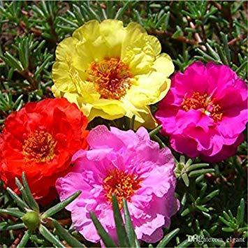 BloomGreen Co. Blumensamen: schnell wachsende einjährige Pflanze Zeit Blumen Sukkulenten Samen Töpfe Pflanzen Garten [Home Garten Samen Eco-Pack] Pflanzensamen
