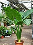 Lulunana's Elephant's Ear Persian Palm Alocasia Calidora Live Starter