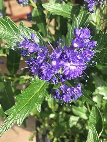 2 Stk. Bartblume 'Heavenly Blue'...