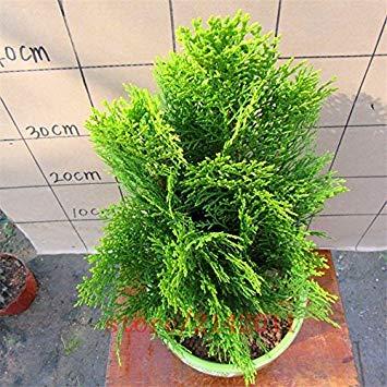 Fash Lady 200pcs rares graines de sang blanc rose graines de fleurs de bonsaï fleurs Asaka rares véritables graines de sang naturelles roses