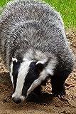 A Black and White Badger (Meles meles) Portrait Journal: 150