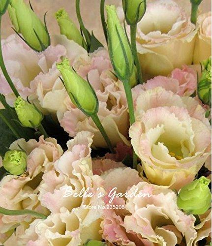 50pcs Multi-Farben Lisianthus Samen schöne Eustoma Grandiflorum Sapphire Samen schöne Blumensamen Bonsai Samen 08