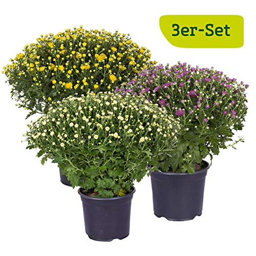 Kölle 3er-Set Chrysanthemen-Busch, Chrysanthemum multiflora, gelb, lila, weiß, je im 19 cm Topf, Ø ca. 40-