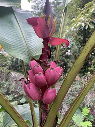 100pcs Banana Seeds Purple Dwarf Tree Bonsai Fruit Decor Home Gardening Planting