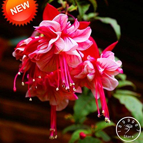 Big Sale! Violet Petals Double Fuchsia Graines de fleurs en pot Plantes en pot Hanging Fuchsia Fleurs 50 semences / Pack, # 1FOY4K