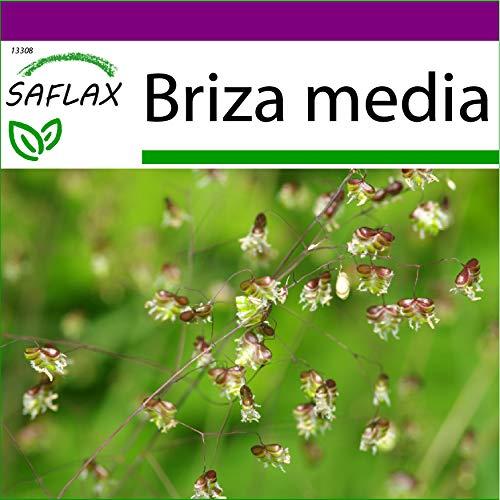 SAFLAX - Big Garden - Gräser-Bambus-Herz-Zittergras/Jungfernhaar - 75 Samen - Mit Gewächshaus, Töpfen, Anzuchtsubstrat und Dünger - Briza media