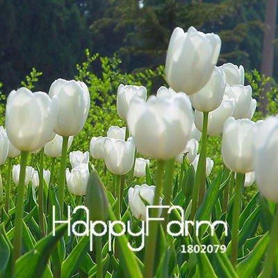 100% germination 2 Pcs véritables bulbes de tulipes, bulbes de fleurs de tulipe arc en ciel, (non tulipe graines), plantes fournitures de jardin, fleurs rares 20