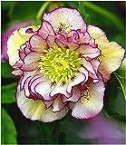 BALDUR Garten Christrosen 'Double Ellen Picotée', 1 Pflanze, Helleborus Niger winterhart