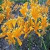 夏植え球根 リコリス オーレア ラジアータ球根 バルコニーガーデン植栽 彼岸花球根-5 球根