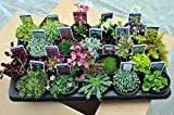 20 Mixed Alpine Plants in 9cm POTS - Quality Alpine Plant Collection of 20 Different Varieties