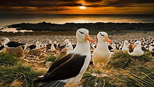 LIWEIXKY Hermosa Escena Rompecabezas de 1000 Piezas para Adultos Juego de descompresión de Madera Grande Dificultad Divertida: Albatros de ceja Negra en Las Islas Malvinas