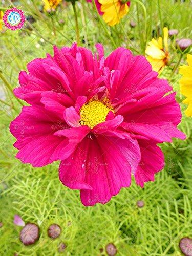 100pcs Rare Bonsai Double Cosmos Graines de fleurs vivaces plantes à fleurs en pot pour jardin facile à cultiver 4