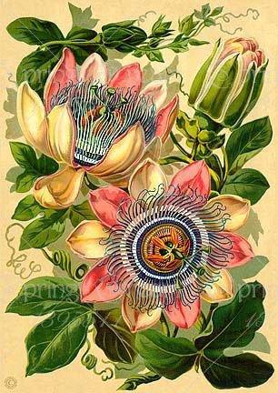 5pcs Passiflore (Passiflora incarnata), plantes Passion fruits exotiques Graines grenadille pour le jardin à la maison 1