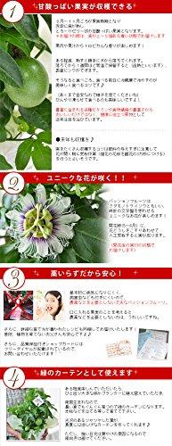 『花由 父の日限定 パッションフルーツ 実付き(5号 鉢植え)』の3枚目の画像
