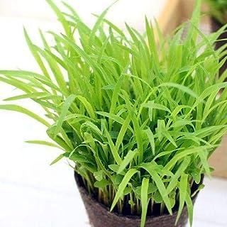 (観葉植物)スーダングラス うさぎの草 直径8cmECOポット植え(無農薬)(1ポット) 生牧草 うさぎのおやつ