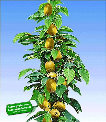 BALDUR Garten Säulen-Kiwi \'Issai\', 1 Pflanze selbstfruchtend Stachelbeer-Kiwi winterharte Obstpflanze