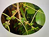 Buddha Baum 100 Samen -Ficus religiosa- *Heiliger Feigenbaum*
