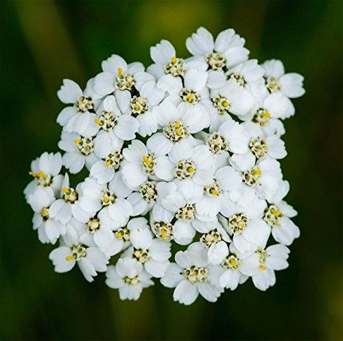 50000 Semi di achillea bianchi Achillea millefolium Piante medicinali pianta medicinale USA