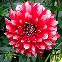 2:温かみのあるバルコニースモールミニダリー20種子(Da Li Hua)2