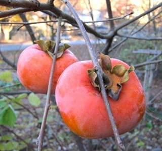 Best organic persimmon tree Reviews