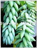 prugna: 100 pezzi/borsa semi sedum multiceps, semi di piante succulente, semi di fiori, varietà complete, piante in vaso purificano l'aria