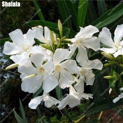 150pcs/sac exotiques Oleander japonais Graines rares Blooming Bonsai Jardin des plantes ornementales en pot pour Flower Pot Planters