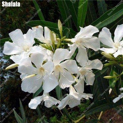 150pcs / bag exóticas Semillas de adelfa japoneses rara florece la planta ornamental en maceta de Bonsai Jardín en Tiesto plantadores