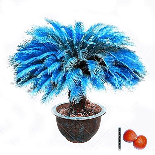 2pcs/Bag Blue Cycas Seeds Sago Palm Tree Seeds.Bonsai Flower seedsthe Budding Rate 97% Rare Potted Plant for Home Garden
