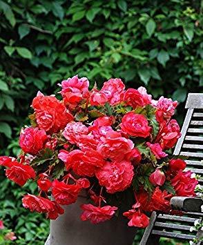 BloomGreen Co. Blumensamen: Begonien-Blumen-Weiß Seeds Terrasse Garten Blumensamen für die Dekoration Garten [Home Garten Samen Eco-Pack] Pflanzensamen