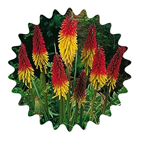 Fackellilie Samen / 30 Stück/Kniphofia...