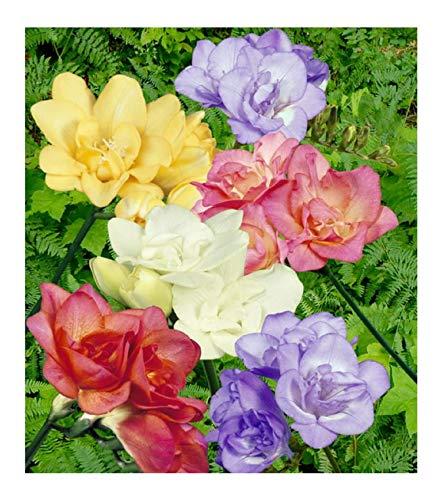 Stk - 50x Freesien Gefüllt Mischung F1 Zwiebeln Knollen Garten Pflanze K-ZK38 - Seeds Plants Shop Samenbank Pfullingen Patrik Ipsa