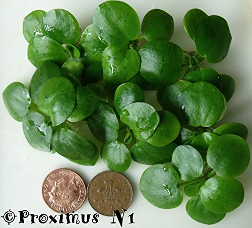 Froschbiss / Limnobium laevigatum - 2,5 cm, 7 Stück