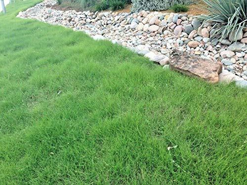 Somarac - 1OZ=15,000 Buffalo Grass Seed Native Prairie Sedge Low Maintenance Drought Turf - Fresh Seeds