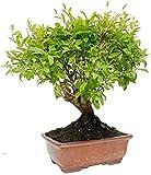 Bonsái Granado Enano de 7 Años Punica Granatum Nana Planta Natural