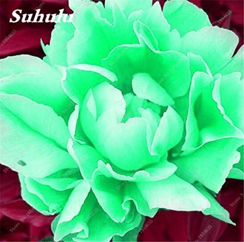 Nouveau! 10 Pcs Pivoine Graines Paeonia suffruticosa Andrews Mix Couleurs Indoor Bonsai fleur pour jardin des plantes Pivoine Graines de fleurs 1