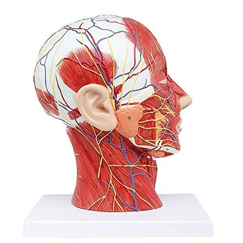 Modelo neurovascular Superficial de Media Cabeza Humana de tamaño Natural 1: 1 con Musculatura para enseñanza anatómica y Vasos del Cuello Estudio de enfermería y Materiales educativos