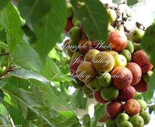 Ficus Racemosa Feigenbaum Baumsamen Tropische Anlage - Bonsai oder Standard-