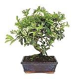 Bonsái Pyracantha de 7 Años Árbol Espino de Fuego Planta Natural