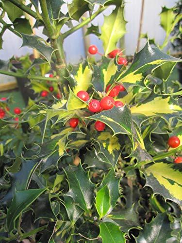 Baumschule Pflanzenvielfalt Ilex...