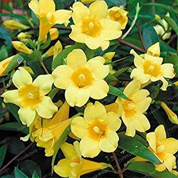 Vistaric 20 Pcs/Sac Jaune Jasmin Graines Plante Parfumée Rare En Pot Bonsaï Jardin Fleurs Graines Plante Pour Intérieur Ou Extérieur Facile à Cultiver