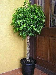 6-10 ft Pot Benjamina Ficus Tree Botanical Live Plant #GUA1
