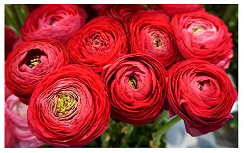 10x Ranunculus Asiaticus Red Persian Buttercup Spring Summer Flowering Perennial Garden Bulbs Hardy...