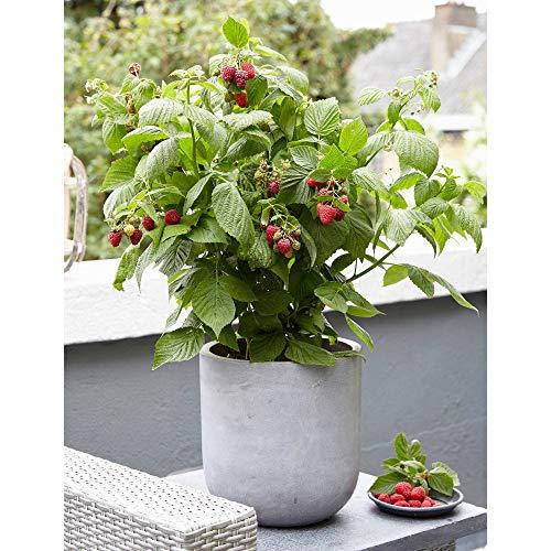 Rubus ideaus