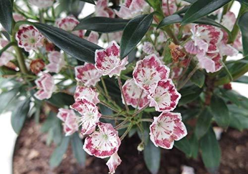 Kalmia latifolia Minuet - Lorbeerrose Minuet - Berglorbeer -