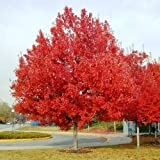 "Albero di Acero Rosso""Acer Rubrum"" Acero Scarlatto in vaso h. 50/80 cm"
