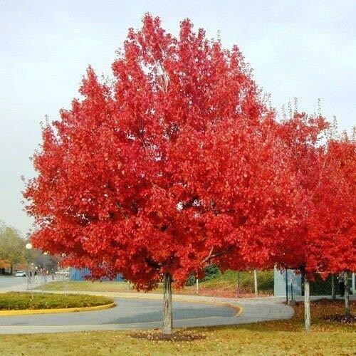 Albero di Acero Rosso'Acer Rubrum' Acero Scarlatto in vaso h. 50/80 cm